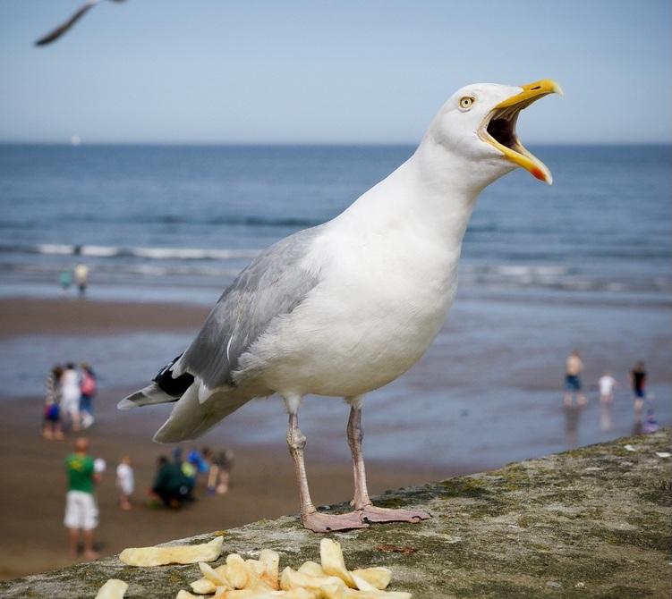 Прожорливая чайка в Йоркшире