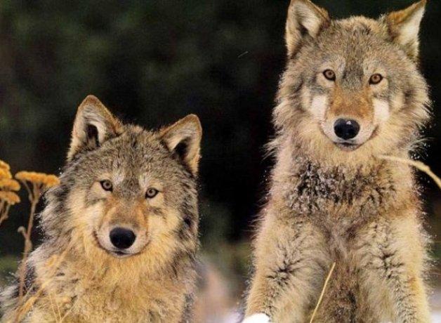 Приятные волчьи улыбки