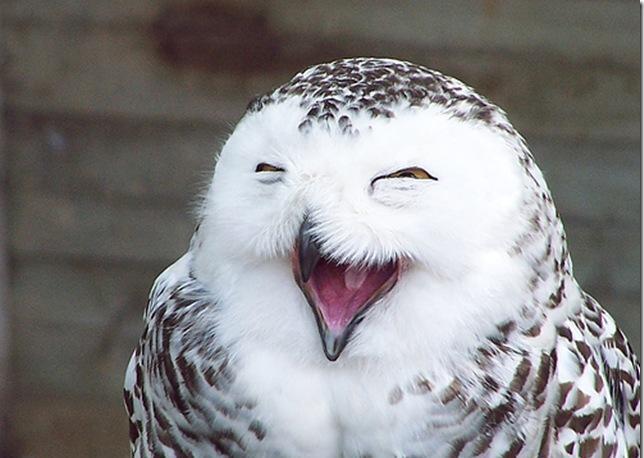 Забавный смех совы