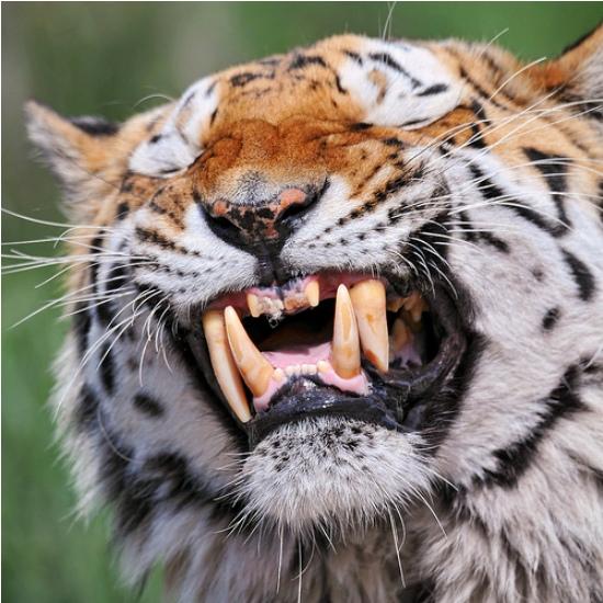Предупреждающая улыбка тигра
