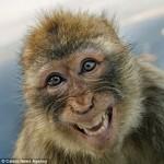Макака с Гибралтара улыбается во весь рот