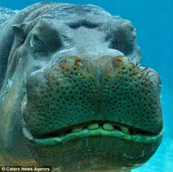 Довольная улыбка бегемота