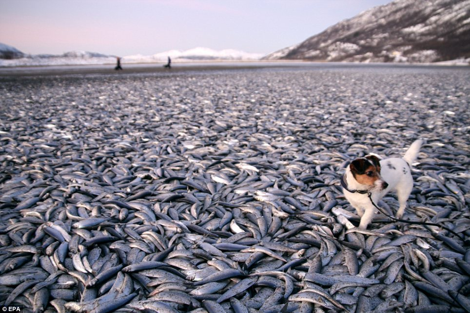 20 тонн погибшей сельди на пляже в Kvaenes, в Северной Норвегии