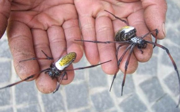 Мадагаскарские пауки-кругопряды