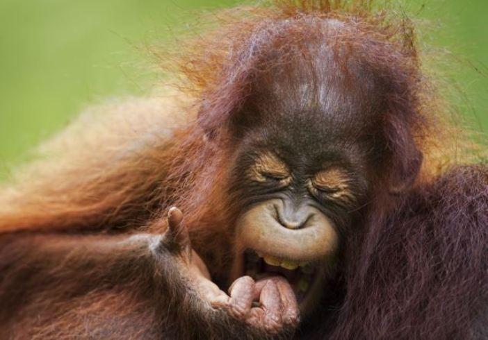 Зевающий орангутанг вежливо прикрывается ладонью