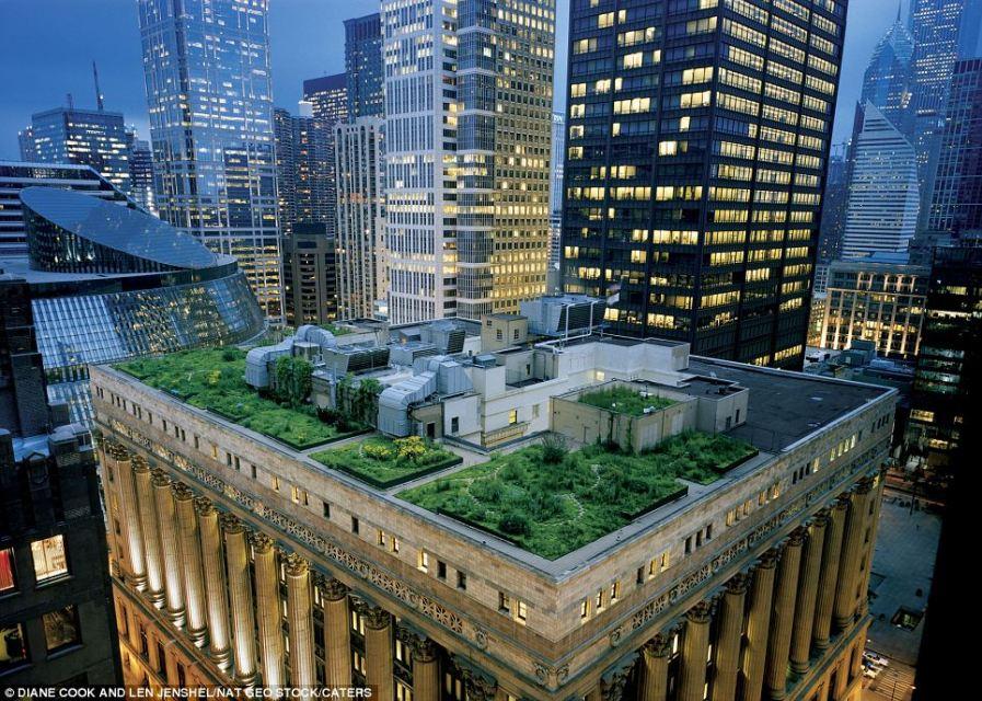 Такие газоны выглядят удивительно естественно, расположенные среди ярких огней небоскребов в Чикаго