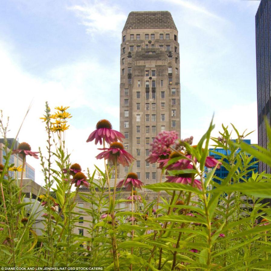 Город в розовом цвете лекарственной эхинацеи, крыша Мэрии в Чикаго