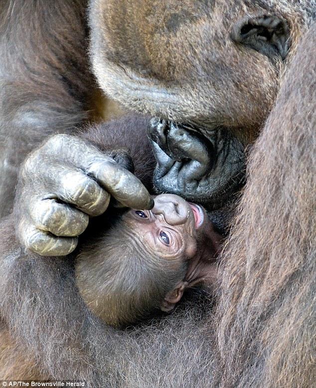 Материнская любовь, горилла, Техас, питомник для сохранения исчезающих видов