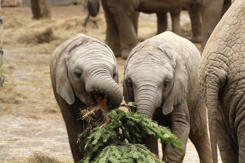Маленькие слонята воспринимают ель, как игрушку