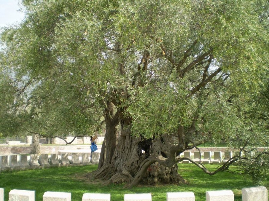 Оливковое дерево в Баре