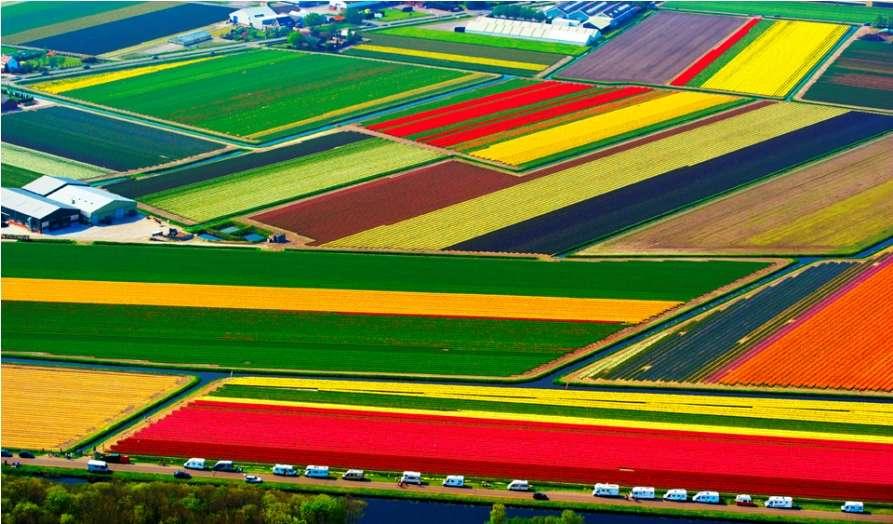 Тюльпановые поля с воздуха