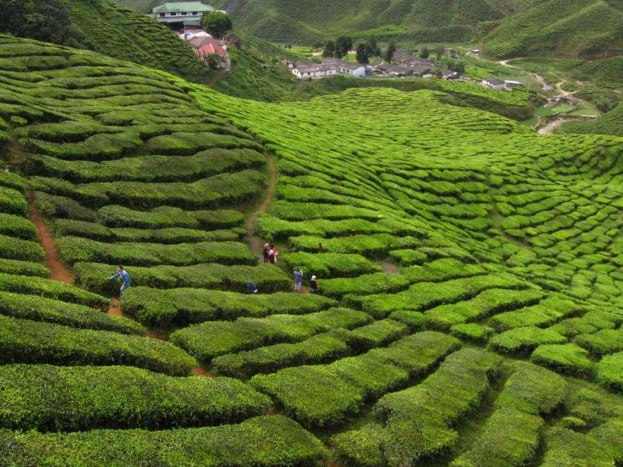 Чайные плантации в Cameron Highland
