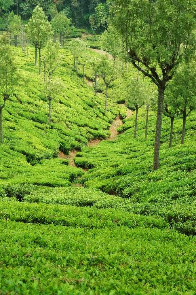 Чайные плантации в Ooty