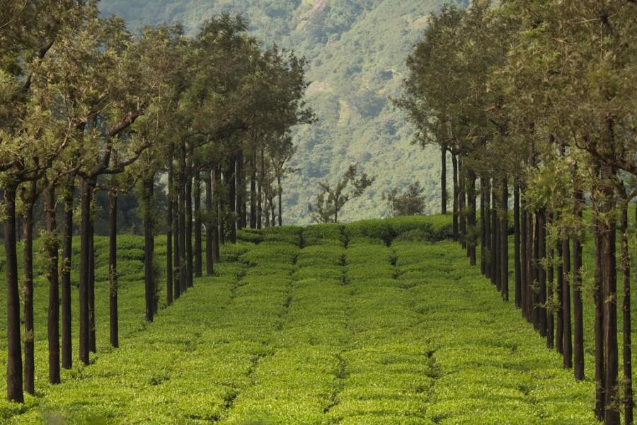 Дерево Silver Oak высаживают в качестве тени на чайных плантациях Индии