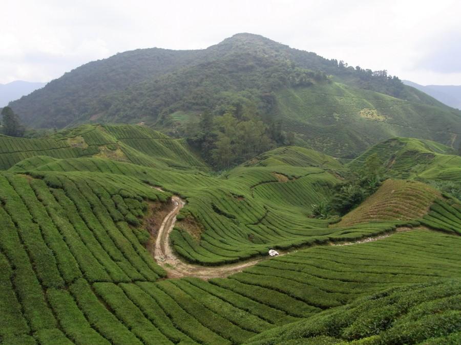 Чайные поля в Brinchang