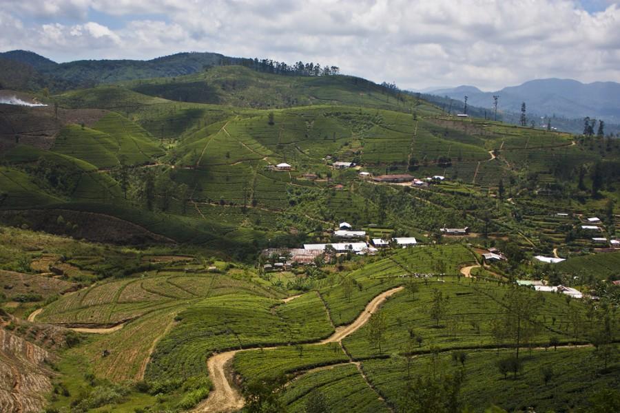 Выращивание чая в Nanu Oya