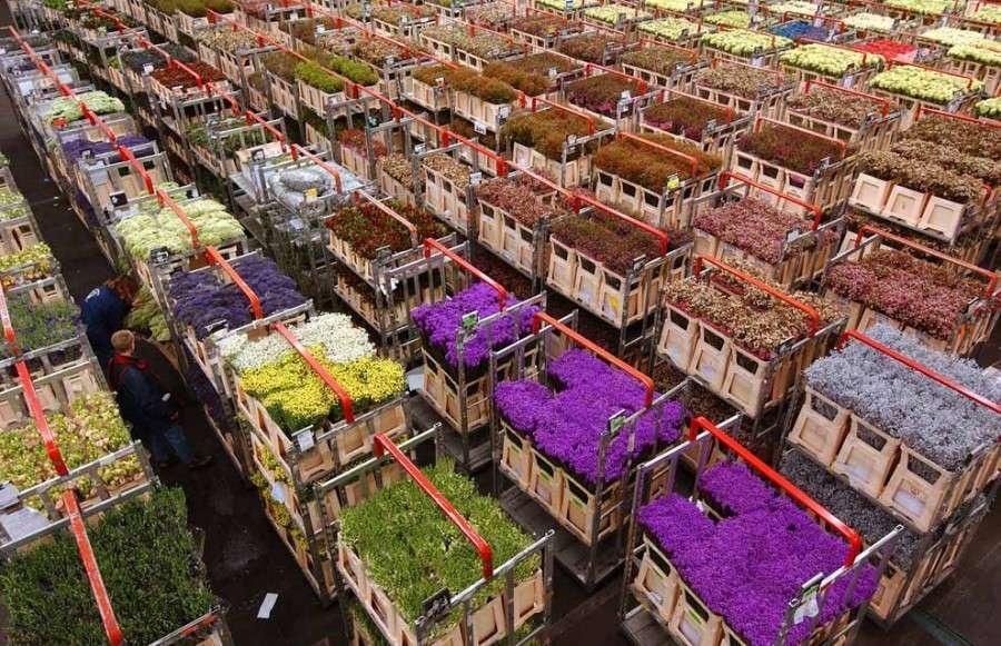 Тюльпаны были доставлены в Голландию из Османской Империи в средние века