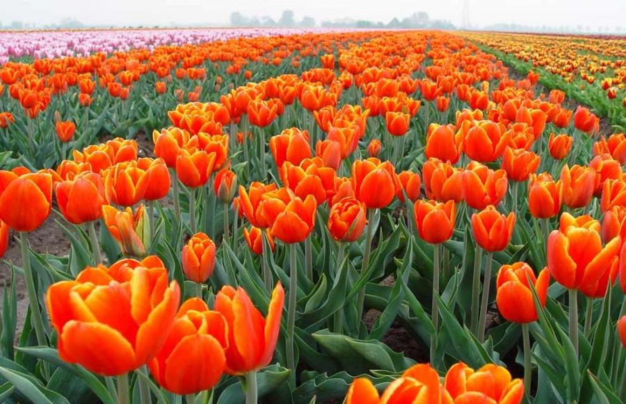 Весной низменность у Северного моря превращается в цветные ковры