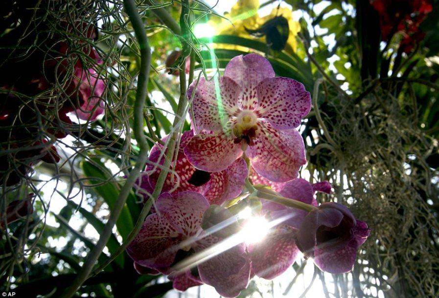 В центре внимания: Солнечный свет пробивается сквозь лепестки одной из 2 700 орхидей