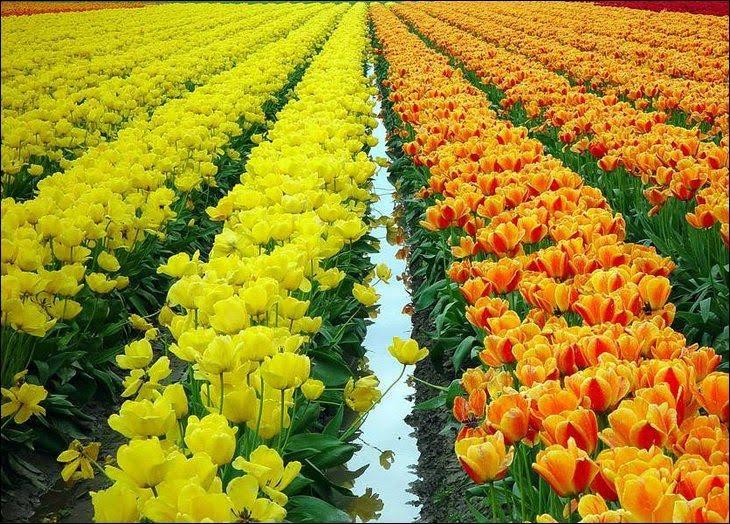 Постоянная влага должна присутствовать на цветочных полях