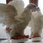 Сандалии из мертвых голубей
