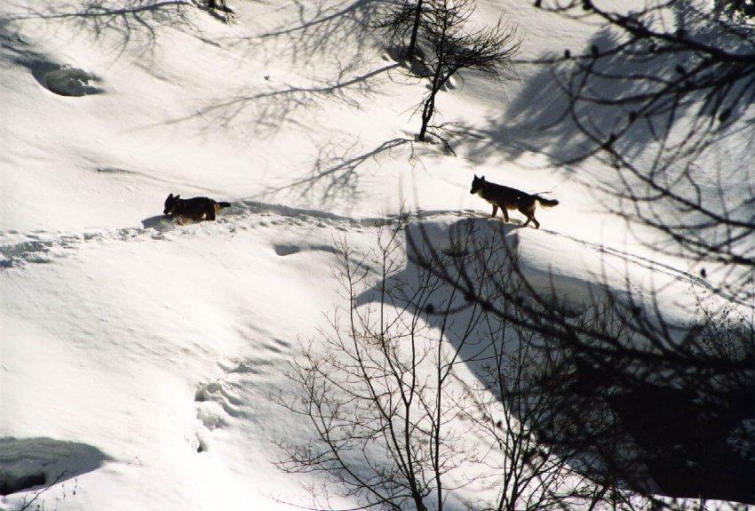 Сейчас здесь живут более 100 волков