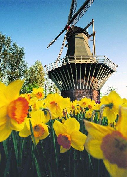 Нарциссы в Keukenhof выращивают с 17 века