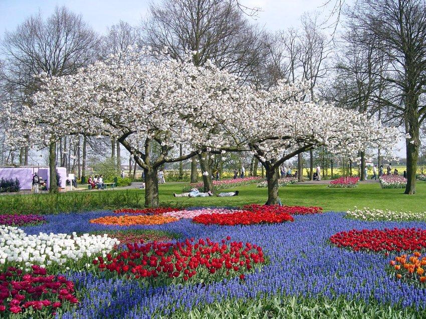 Цветение плодовых деревьев в Keukenhof не уступает по красоте тюльпанам