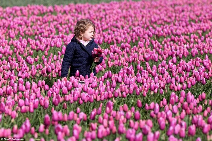 Тюльпаны в Англии