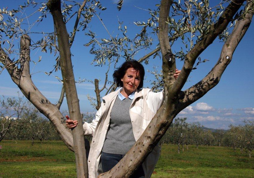 Оливковые деревья -часть пейзажа Истрии