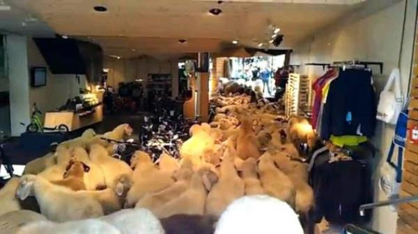 Стадо овец в спортивном магазине