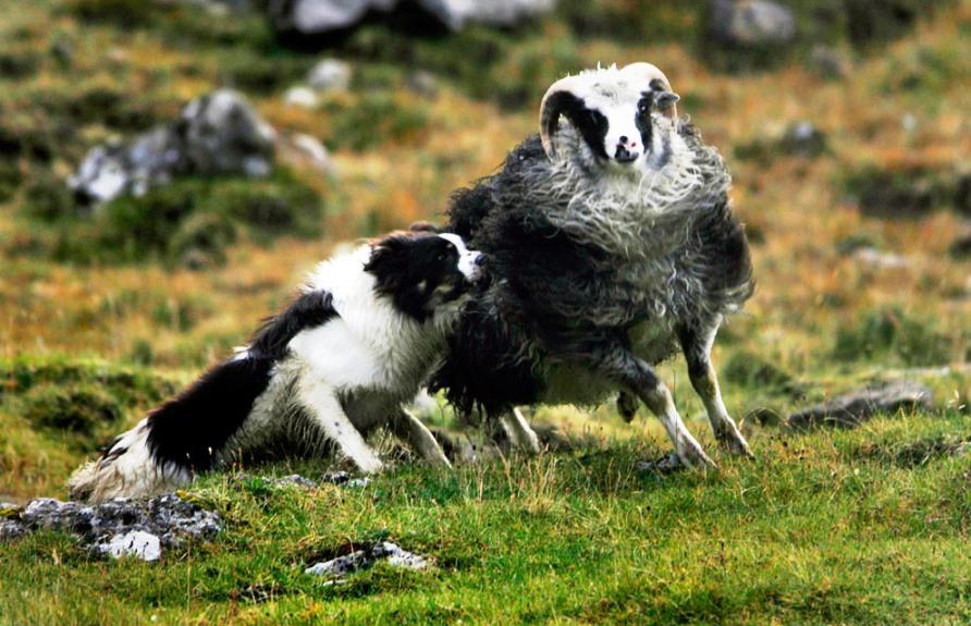 Овчарка помогает собрать стадо овец недалеко от деревни Saksun на Streymoy, фото REUTERS / Bob Strong