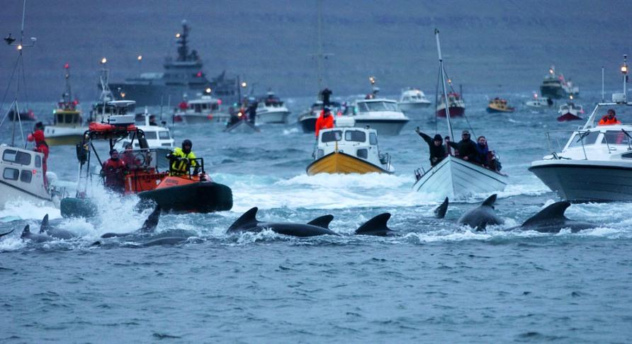 """Жители Фарерских островов во время ежегодного забоя дельфинов """"Grindadrap"""" вблизи Torshavn, фото Reuters / Andrija Ilic"""