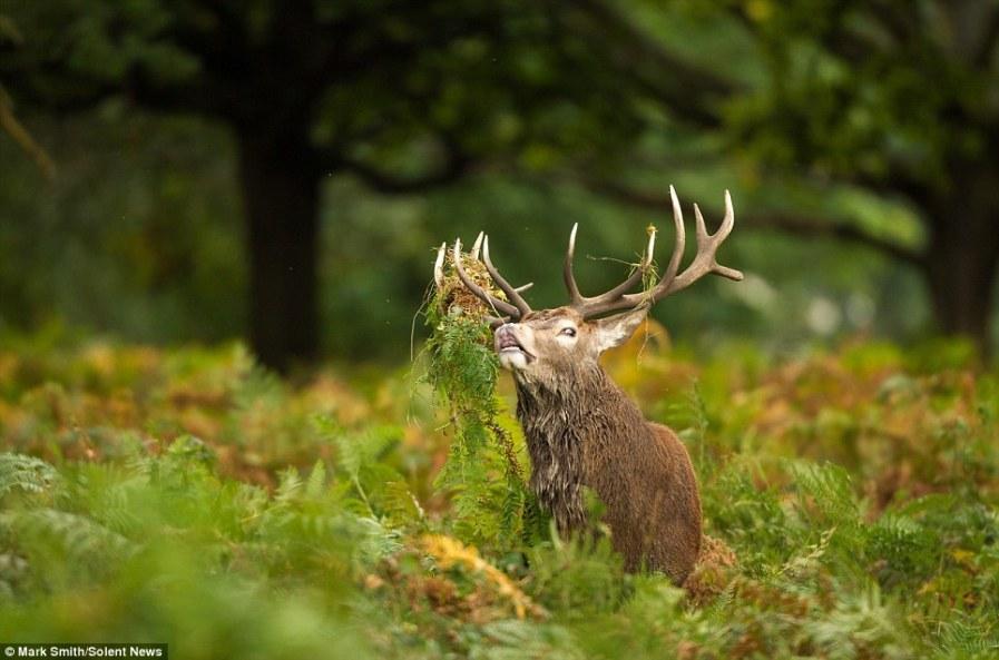 Король - олень из Ричмонд парка