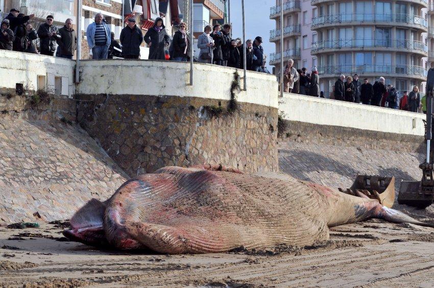 Во Франции на берег выбросился огромный кит
