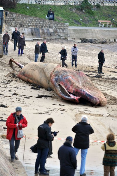 Кит-полосатик - второе по величине животное в мире