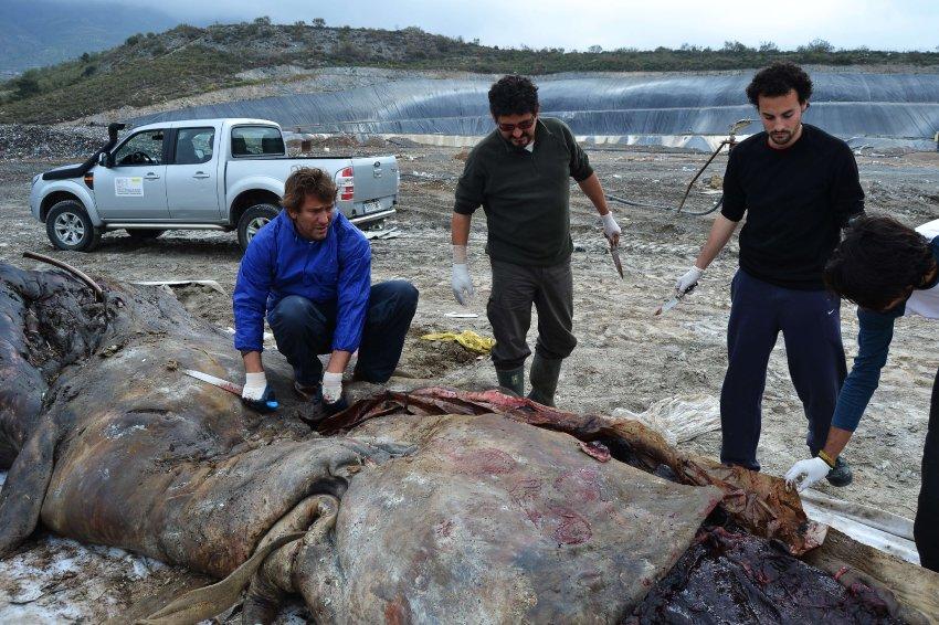 Кит длиной 10 м. и весом 4,5 т погиб из-за пластиковых отходов