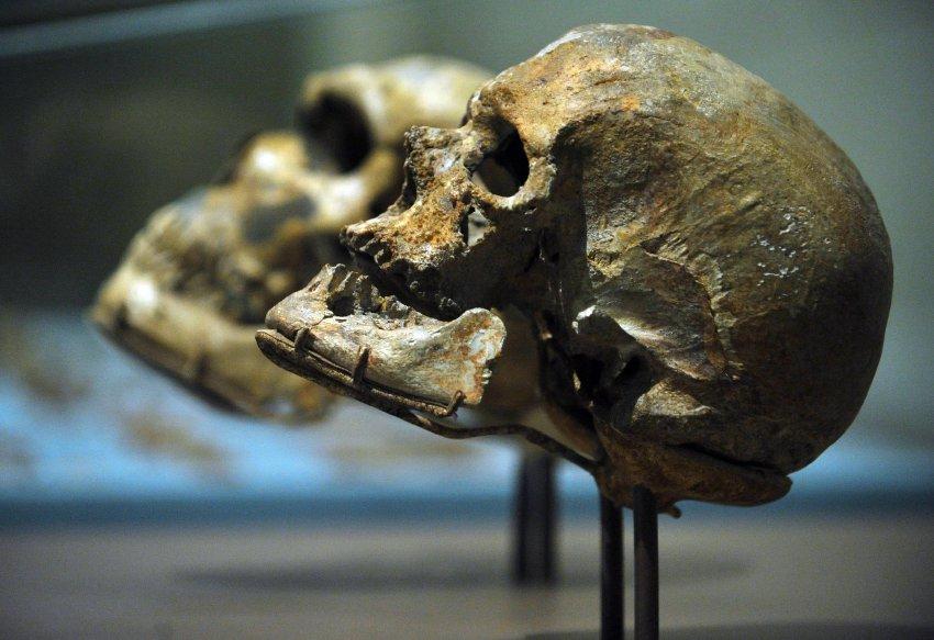 Мозг неандертальца не был ориентирован на социальное существование