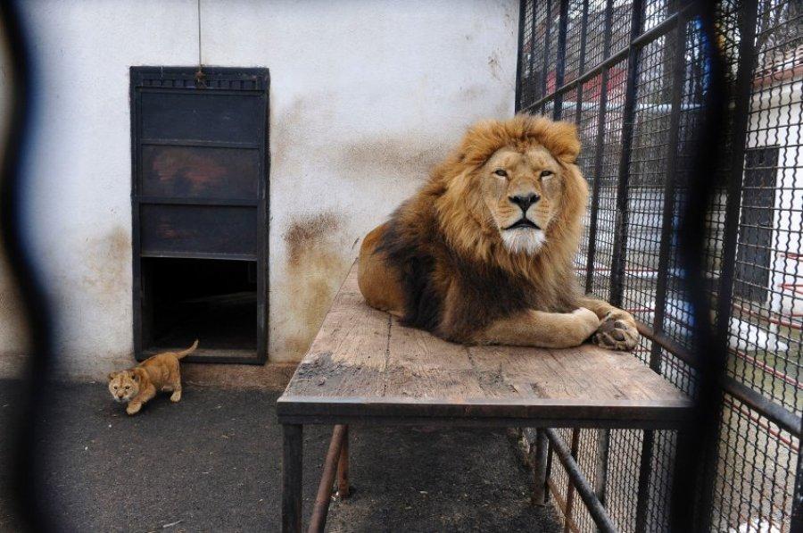 Так Гера и Тарзан жили в румынском зоопарке