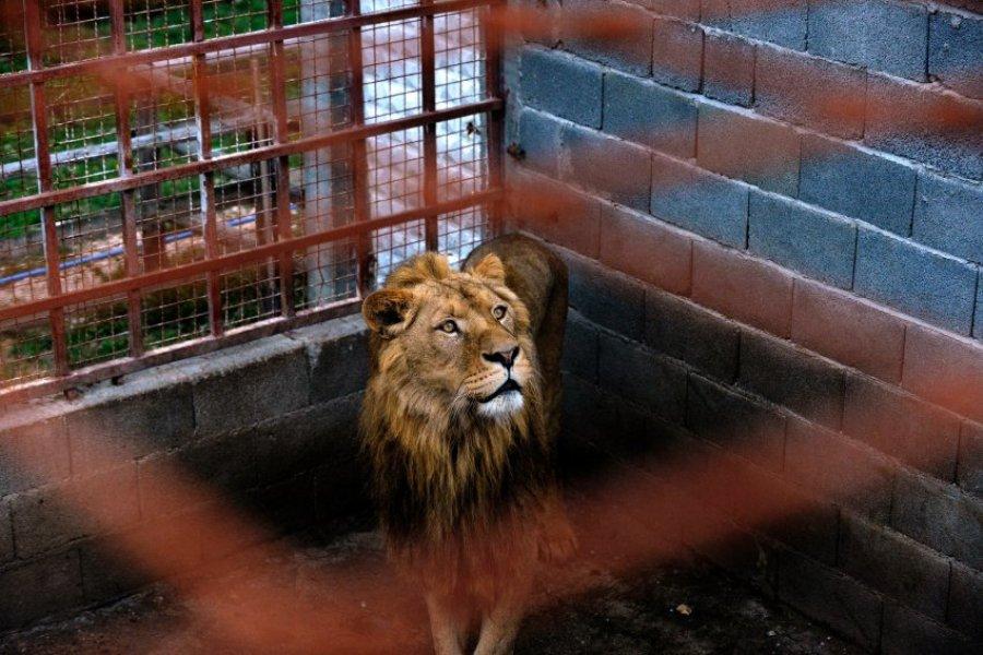 Лев в частном зоопарке недалеко от Белограда