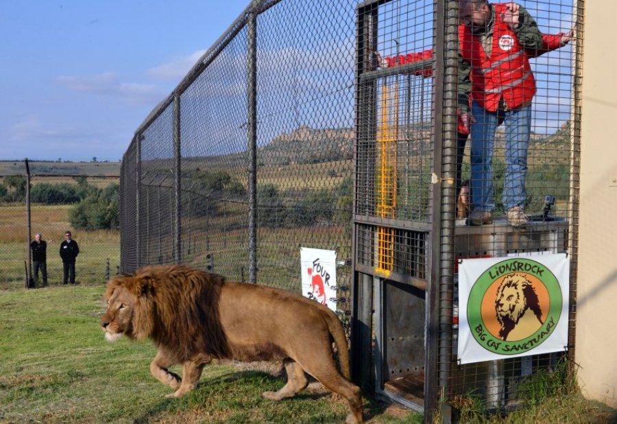 Гера и ее отец 9-летний лев Тарзан приехали из Румынии