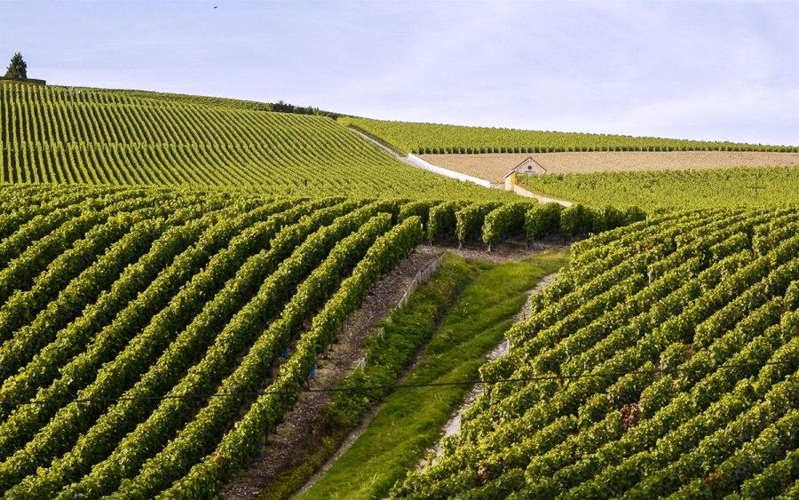 Бесконечные виноградники провинции Шампань