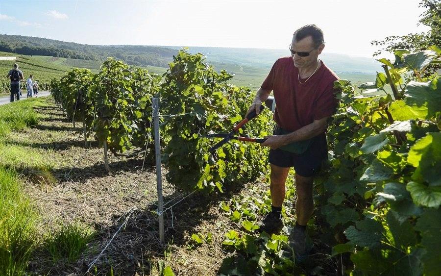 Осенние работы на виноградниках