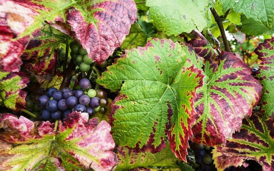 Провинция Шампань: красота осенних виноградников