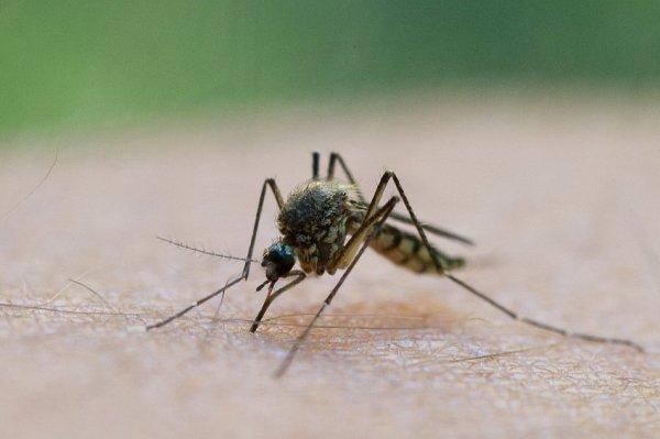 В качестве биологическог оружия планировалось использовать комаров