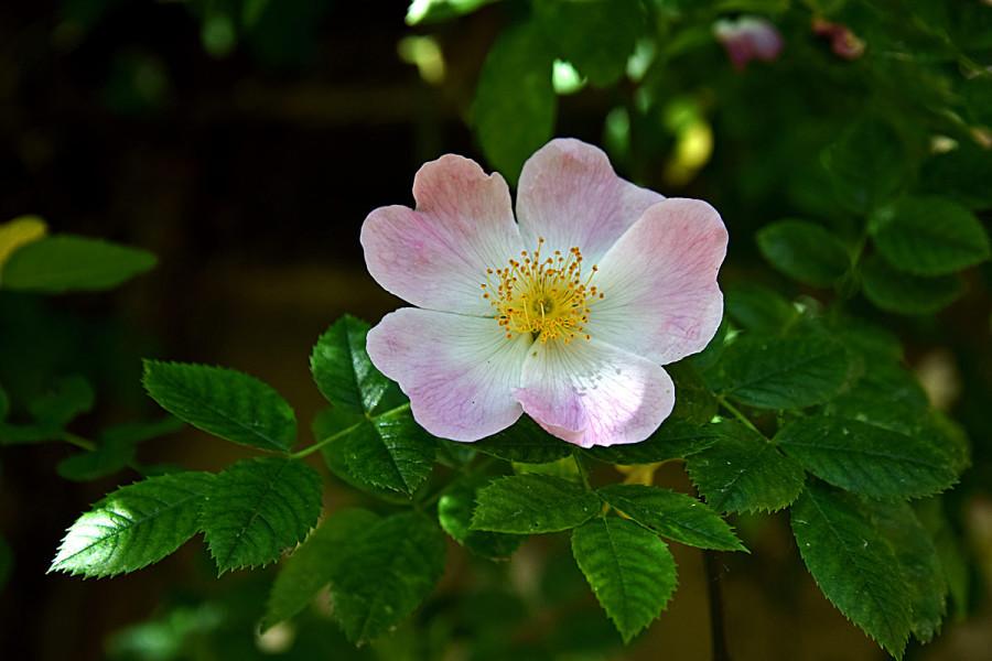 Тысячелетняя роза Хильдесхайма