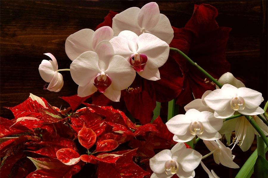 Традиционные цветы Рождества