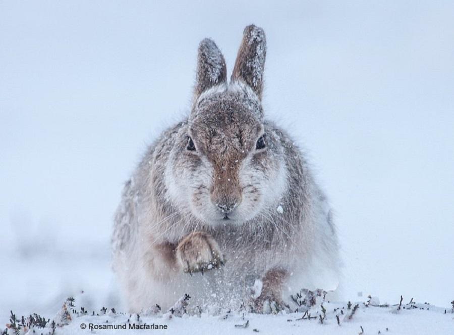 """Заяц и снег"", Розамунд Макфарлейн"