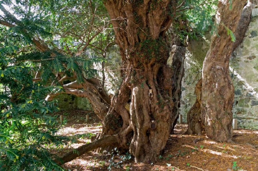 AEDA3G Part of one of the oldest ancient trees in the world the Fortingall Yew more than 4000 years