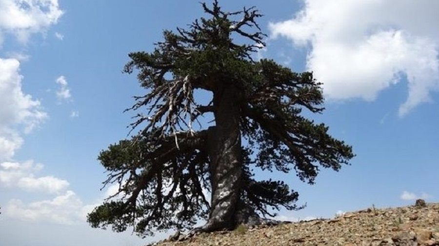 Самое старое дерево Европы